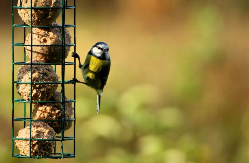 Blue Tit on a bird feeder